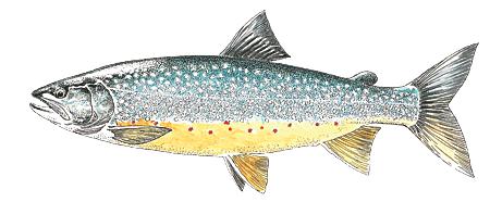 les poissons de nos cours d 39 eau f d ration d partementale de p che de l 39 ari ge. Black Bedroom Furniture Sets. Home Design Ideas